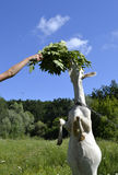 Goat. Eating leaves from a human hand Stock Image