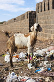 Goat eating rubbish. Royalty Free Stock Photography