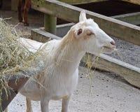 Goat Eating Royalty Free Stock Photos