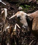 Goat eating in sunshine stock photos
