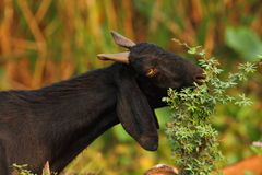 Goat eating the tree Royalty Free Stock Photography