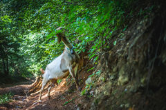 Goat. Eating in the woods Royalty Free Stock Photo