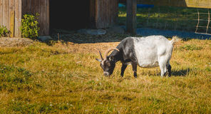 Goat eats grass in a meadow in front of a wooden hut Stock Image