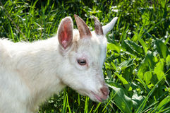 Goat eats Royalty Free Stock Photo
