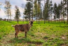 Goat eats a green grass. Royalty Free Stock Photo