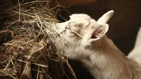 Goat eats hay in a stable stock video