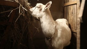 Goat eats hay in a stable stock footage