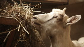 Goat eats hay in a stable stock video footage