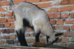 Goat. The goat eats its food Royalty Free Stock Photo