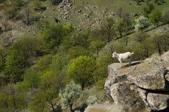 Goat on the edge Stock Photo