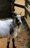 Goat in enclosure Stock Photo
