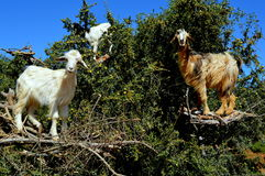 Goat in Essaouira Stock Photo