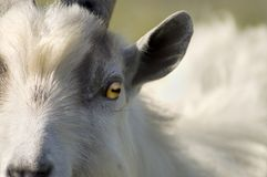 Goat Eye Stock Images