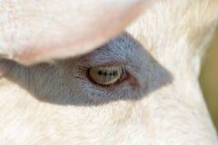 Goat eye close up Stock Photos