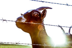 Goat eye sunset Stock Photos