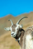 Goat with eyes closed. In the mountains stock photography