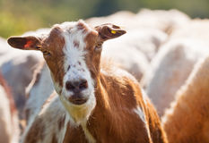 Goat face. Close-up of a goat face in a herd Stock Photography