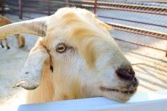 Goat face. Close up golden color goat face Stock Photos