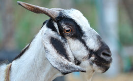 Goat face. Close up of the goat's face stock photography