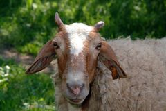 Goat face portrait Stock Photography