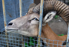 Goat face sticked through the metallic fence Royalty Free Stock Photography