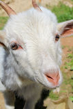 Goat face Royalty Free Stock Images