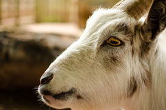 Goat Face White Profile Close Up Portrait Horizontal Royalty Free Stock Photos