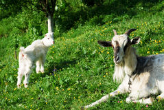 Goat family. In the grass outdoors Royalty Free Stock Photos
