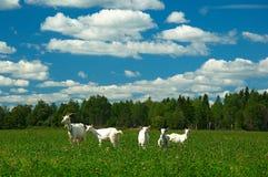 Goat family Royalty Free Stock Photography