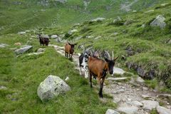 Goat family in the alps. Goat family in alpine landscape Royalty Free Stock Photography