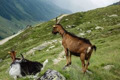 Goat family in the alps. Goat family in alpine landscape Stock Photo