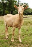 Goat on family farm Royalty Free Stock Image