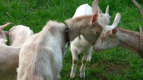 Goat Family In The Field 01 stock video footage