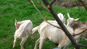 Goat Family In The Field stock video footage