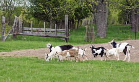 Goat family Stock Photography