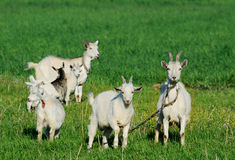 Goat family in a green field Stock Image