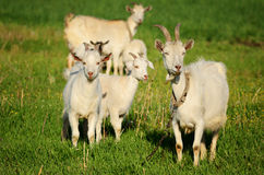 Goat family in a green field Royalty Free Stock Images