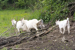 Goat family. On the meadow close up Royalty Free Stock Images