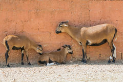 Goat family moment outside a farm house. Royalty Free Stock Photography
