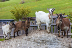 Goat family on a mountain farm Stock Photos