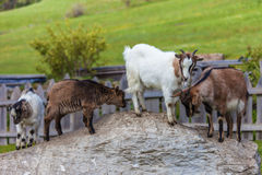 Goat family on a mountain farm. In South Tyrol, Italy Stock Image