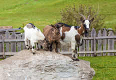 Goat family on a mountain farm Royalty Free Stock Photography