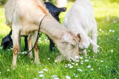 Goat family on a pasture in a green meadow Royalty Free Stock Photography