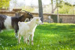 Goat family on a pasture in a green meadow.  Stock Photography