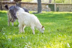 Goat family on a pasture in a green meadow.  Royalty Free Stock Photo