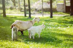 Goat family on a pasture in a green meadow.  Royalty Free Stock Photography