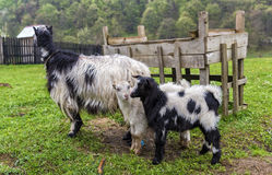 Goat family standing in the rain at farm Stock Photography