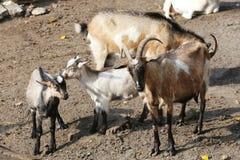 Goat family sunbathing Stock Images