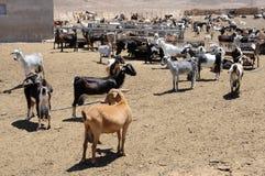Goat farm royalty free stock photo