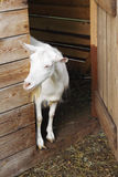 Goat in a farm. The goat on a farm looks through a door Royalty Free Stock Images